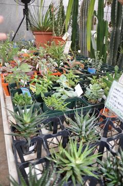 さまざまな種類がある多肉植物。幾つか寄せ植えしても面白い